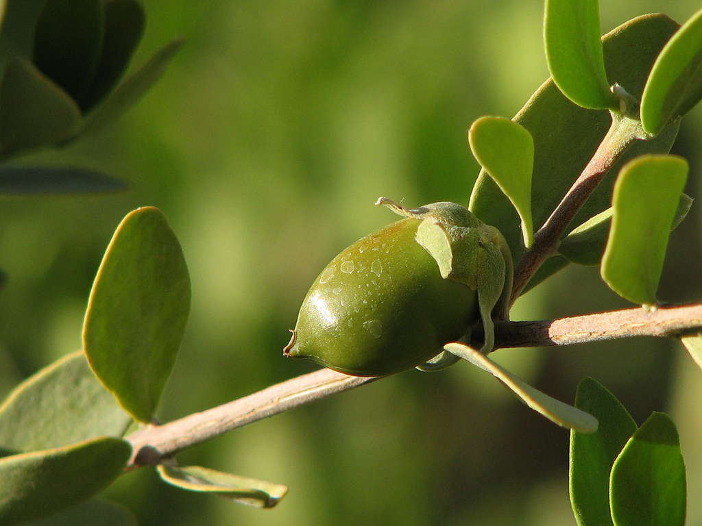 Jojoba Uses For Skincare and Other Applications